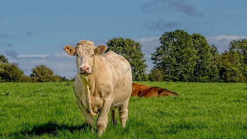 ireland irish cattle beef bull lll