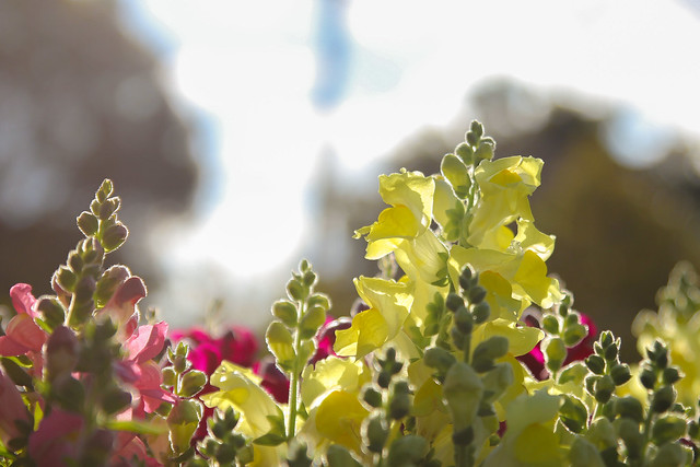 Snapdragons in the sun