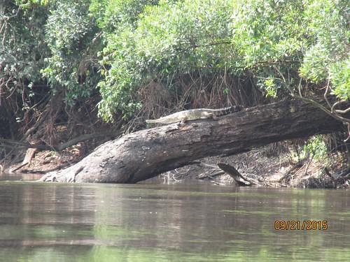 crocodile_Mecistops cataphractus
