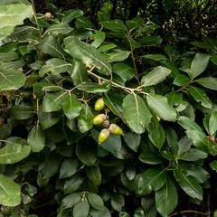 Quercus ilex - Photo of Maisons
