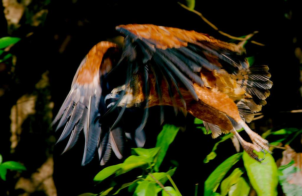 BLack Collared Hawk_4