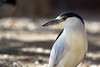 Night Heron in the Day