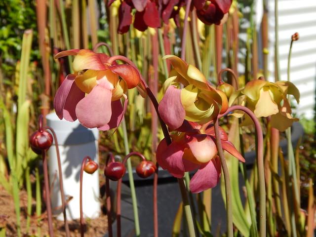 Sarracenia rubra x formosa