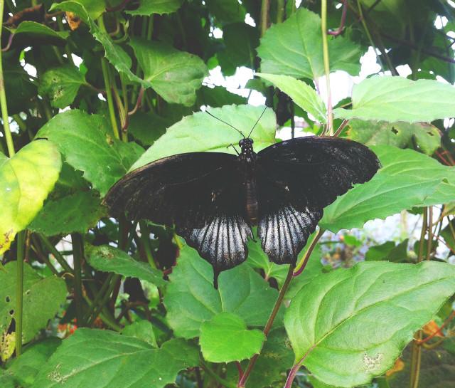 9 vivatramp goth butterfly