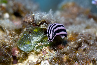 Nudibranch - Phyliddiella rosans - with copepod crustacean parasites