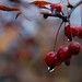 Quintessence of Crab Apple by mseyb