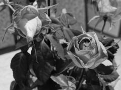 Hervadt rózsa
