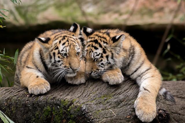 Tigerfamilie Volodya und Aljoscha