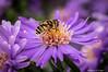 Bee On Purple Flower-2016-20.jpg