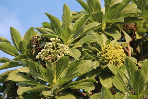 rota heliotropiumfoertherianum tournefortiaargentea heliotropium messerschmidia boraginaceae