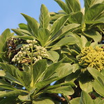 Heliotropium foertherianum flowers and fruit
