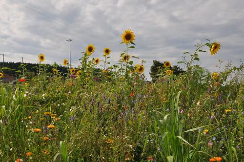 Sonnenblumen an der Bahn
