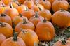 Pumpkins in the Fall Sun