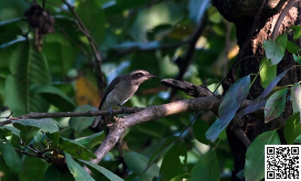 Common Woodshrike [Ceniciento Chico]