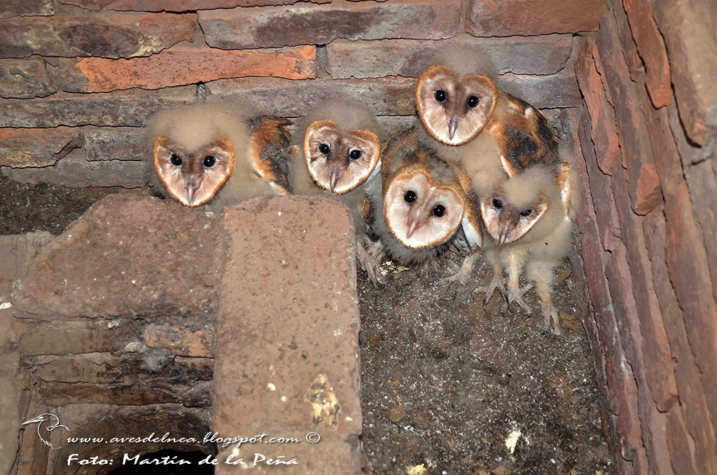 LechuzLechuza de campanario (Barn owl) Tyto albaa.5409