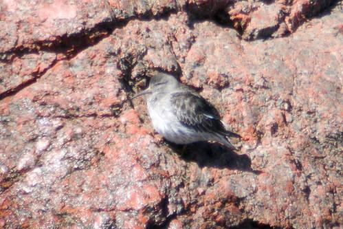 bird wildlife birding ornithology birdwatching oiseau faune purplesandpiper ornithologie bécasseauxviolet