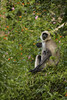 Langur | Nagerhole Wildlife Sanctuary | Kabini | Aug 2015