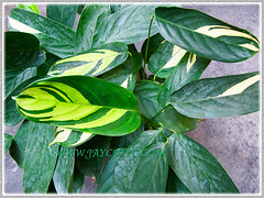 Ctenanthe pilosa 'Golden Mosaic' (Golden Variegated Ctenanthe) was added to our garden on Feb 21, 2014