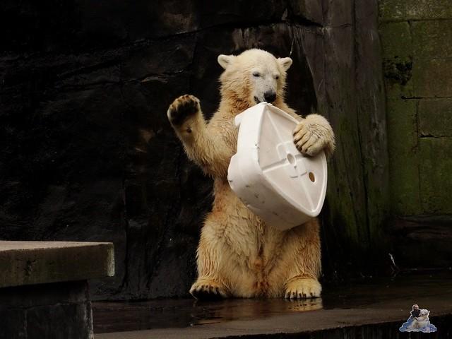 Eisbär Fiete im Zoo Rostock 19-09.2015 Teil 3  014