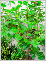 Fruiting Morus nigra shrub (Black Mulberry, Blackberry, Indian/Persian Mulberry, Silkworm Mulberry, Hei Sang in Chinese), Aug 19 2015