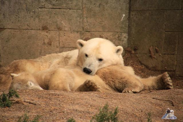Eisbär Fiete im Zoo Rostock 06.09.2015  05
