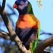 Rainbow Lorikeet by buckmcc98