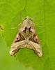 Angle Shades Phlogophora meticulosa by Iain Leach