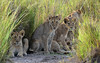 The Kids - Lion Cubs in Elephant Grass - 9279b+ by teagden
