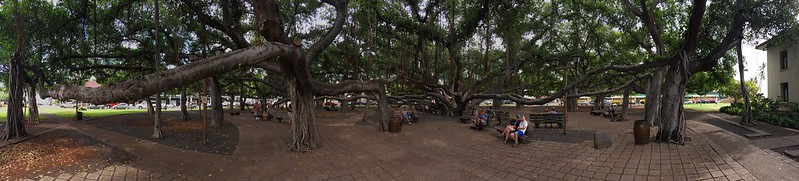 Crazy tree network in downtown Lahaina.