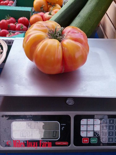 Striped German Heirloom, 1.8 lbs, 2015