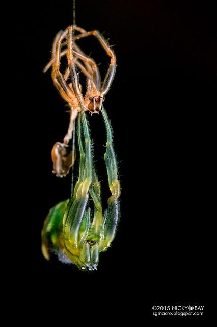 Orb weaver spider (Araneus perpolitus) - DSC_9763