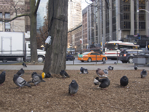 Pigeons of The 6ix