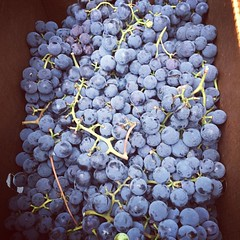 .....annnnnnd we got Concord grapes baby.