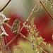 Aimophila ruficeps por Pablo Leautaud.