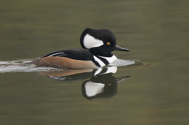 Hooded Merganser, Canon EOS 5D MARK IV, Canon EF 800mm f/5.6L IS