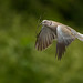 Dove-and-Twig-PW-crp by GREENGRASS F1