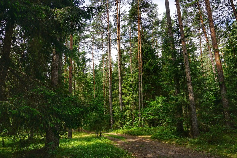 Walking through a Latvian pine forest