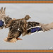 Mallard Ducks Landing at High Speed by vinamaster