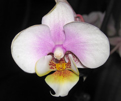 flower, macro photography, laelia, phalaenopsis equestris, flora, moth orchid, close-up, petal,