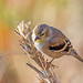 Small photo of Drab Goldfinch