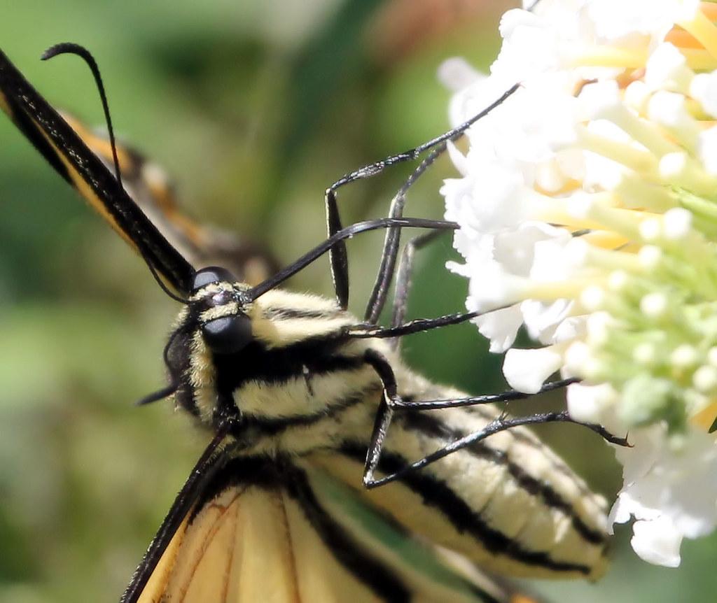 swallowtail24