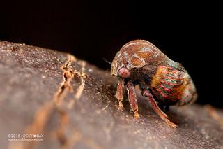 Treehopper (Coccosterphus sp.) - DSC_8264