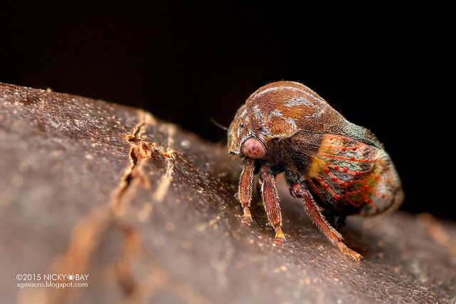 Treehopper (Membracidae) - DSC_8264
