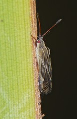 Lacebugs Tingidae of Whitsunday Shire