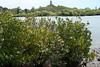 Mangroves Russell Island