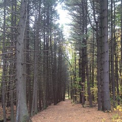 Pines along the #redtrail at #lakewintergreen. #westrockridgestatepark #hike #pinetrees #path #letterboxing