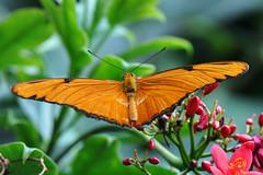 Dallas - Julia Butterfly