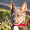 Basking. #puppiesofinstagram #dogsofinstagram #aidog #americanindiandog