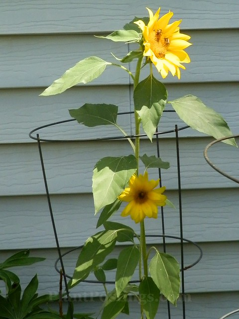 caged sunflower