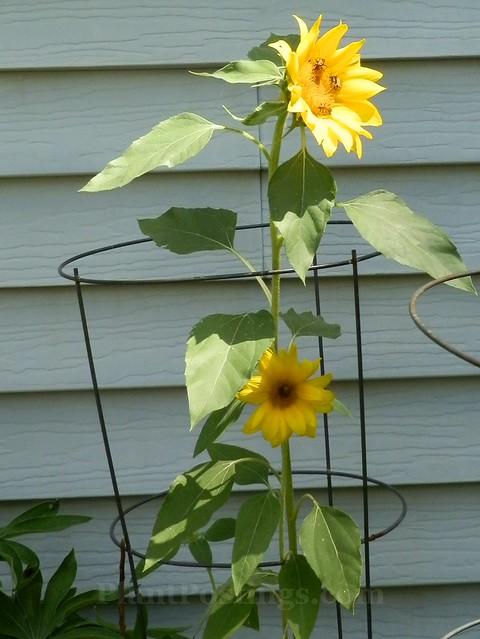 caged sunflower